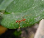 红色蚂蚁 免版税库存图片