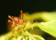 红色蚂蚁 库存图片