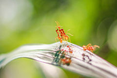 红色蚂蚁 免版税库存照片