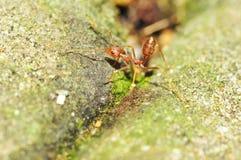 红色蚂蚁 库存照片