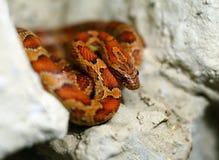 红色蛇 库存图片
