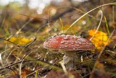 红色蛤蟆菌伞形毒蕈muscaria 免版税库存照片