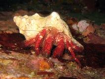 红色螃蟹dardanus长毛的隐士的lagopodes 库存图片