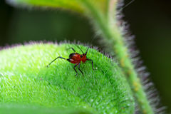 红色蟋蟀 库存照片