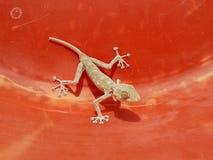 红色表面上的议院蜥蜴 库存图片