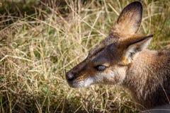 红色袋鼠在草蹲下了 图库摄影