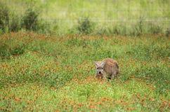 红色袋鼠在野花中间蹲下了  免版税库存图片
