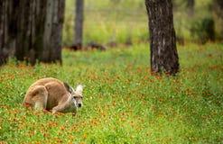 红色袋鼠在野花蹲下了 图库摄影