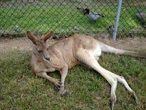 红色袋鼠澳大利亚 免版税库存照片