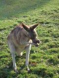 红色袋鼠澳大利亚 库存图片