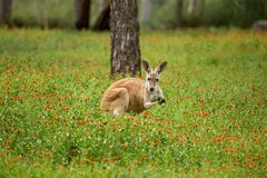 红色袋鼠采摘绿叶 图库摄影