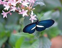 绯红色被修补的Longwing Heliconius erato蝴蝶,哥伦比亚 免版税库存图片