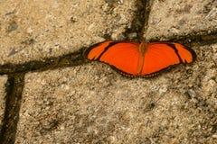 绯红色被修补的Longwing-Heliconius erato phylis 库存图片