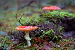 红色被察觉的伞菌在森林里 免版税图库摄影