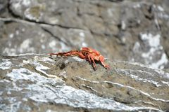 红色被察觉的螃蟹 免版税库存图片