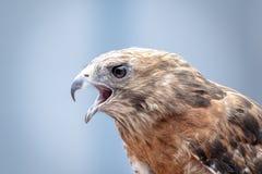 红色被担负的鹰 免版税库存照片