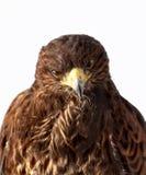 红色被盯梢的鹰查找 免版税库存图片