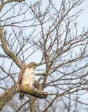 红色被盯梢的鹰,中央公园, NYC 图库摄影