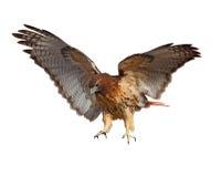 红色被盯梢的鹰 库存图片