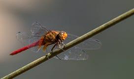 红色被盯梢的蜻蜓 免版税库存图片
