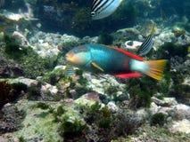 绯红色被结合的濑鱼 库存图片