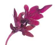 红色被绘的荨麻锦紫苏叶子 图库摄影