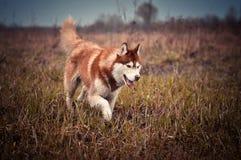 红色西伯利亚爱斯基摩人狗在春天草甸跑 免版税库存照片