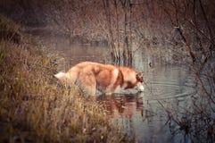 红色西伯利亚爱斯基摩人狗从溪喝在春天草甸 库存图片