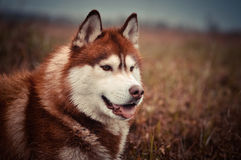 红色西伯利亚爱斯基摩人狗画象在春天草甸 库存照片