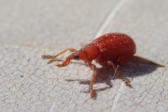 红色象鼻虫,更加接近的框架 库存照片
