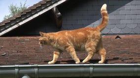 红色走在屋顶,诺曼底的平纹家猫, 股票视频