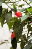 红色辣椒植物 免版税库存图片