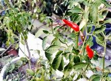 红色辣椒植物 免版税图库摄影