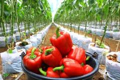 红色辣椒的果实 免版税库存图片