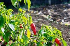 红色辣椒粉植物在庭院里 辣椒辣椒红色 免版税库存图片