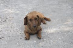 红色达克斯猎犬在沥青说谎 免版税库存图片