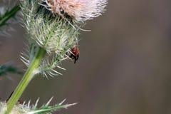 红色进口的火蚂蚁,火蚁invicta 库存照片