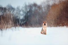 红色逗人喜爱的德国shepard在冬天 库存图片
