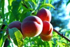 红色避风港的桃子 免版税库存照片