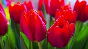 红色郁金香五颜六色的花束开花,自转 股票录像