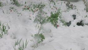 红色郁金香和其他植物和灌木在雪-自然反常现象重压下弯曲了 影视素材
