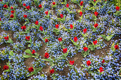 红色郁金香和在公园种植的勿忘草花,图f 免版税库存图片