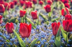 红色郁金香和在公园种植的勿忘草花 免版税库存图片