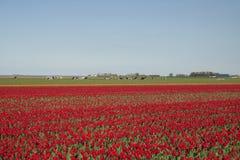 红色郁金香和母牛在背景中 免版税图库摄影