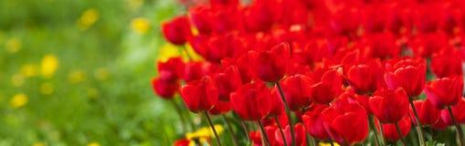 红色郁金香和绿草与迷离 免版税图库摄影