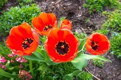 红色郁金香在一个春天早晨 库存图片