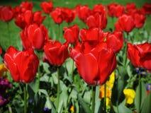红色郁金香在一个美丽的花圃里 库存图片
