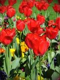 红色郁金香在一个美丽的花圃里 免版税库存照片