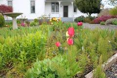 红色郁金香在一个绿色庭院里 库存照片