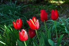 红色郁金香在公园,关闭开花  免版税库存照片